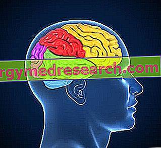 Lobi del Cervello por A.Griguolo