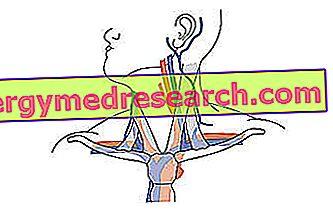 Succlavia - Arteri Succlavia A.Griguolo