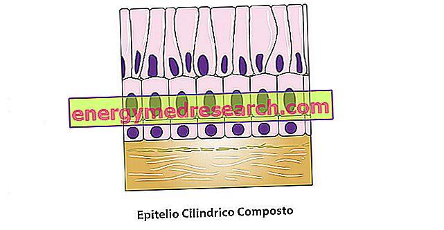Epitélio composto cilíndrico