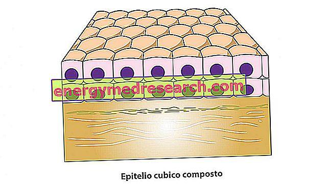Kombinēts kubiskais epitēlijs