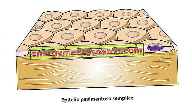 Обикновено павилиантен епител и ендотел