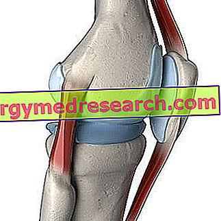 Hrskavica koljena od A.Griguola