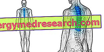 Thoracic Vertebrae: Apa itu?  Anatomi, Fungsi dan Patologi A.Griguolo