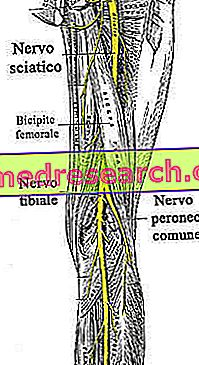 Sciatic nerv
