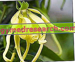 Macassar in Ylang Ylang