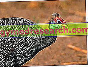 Burung unggas Guinea - daging ayam Guinea