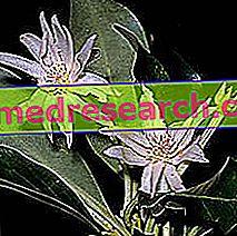 Star Anise i Herbal Medicine: Egenskaber af Star Anise