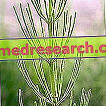 Preslica u herbalistu: svojstvo Equisetuma