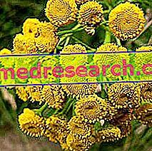 Tansy in Herbalist: Lastnosti Tanaceta