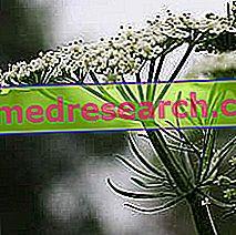 Cumin dalam Perubatan Herba: Cumin Property
