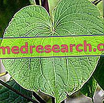हर्बल चिकित्सा में कावा कावा: कावा कावा की संपत्ति