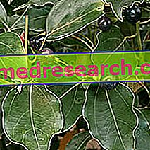 Canfora în medicina pe bază de plante: Proprietățile din Canfora