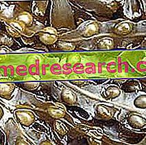 Fucus Herbalistis: Fucuse vara