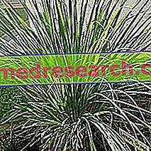 Sả trong thảo dược: Tài sản của sả