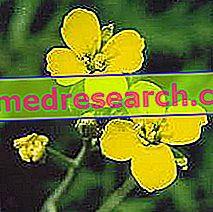 Erisimo i Herbalist: Errisimos egendom