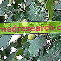 Ek i Herbalist: Egenskaper hos ek