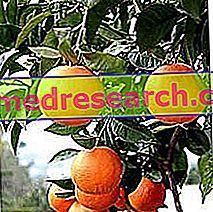 البرتقال المر في Erboristeria: خصائص أمارو أورانج