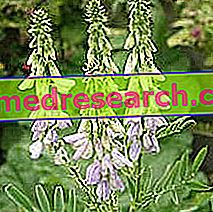 Galega Herbalistis: Galega omadus