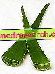 Aloe: propiedad de Aloe