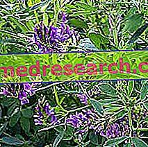 البرسيم في طب الأعشاب: خصائص الأعشاب الطبية