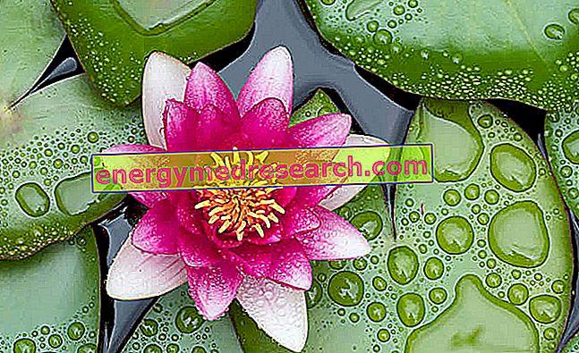 Lotus Flower - Healing Properties