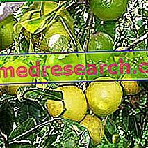 Bergamot v bylinnej medicíne: Vlastnosti Bergamotu