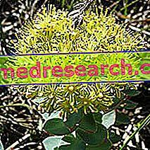 Rhodiola in Herbalist: Vlasništvo Rodiole