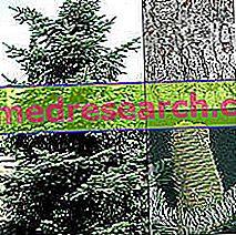 Ела в билковата медицина: свойства на елата