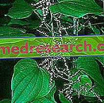 Dioscorea in Herbalist: Eigentum von Dioscorea