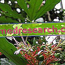 Rauwolfia in Herbalist: Ιδιοκτησία του Rauwolfia