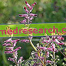 Røyking i Herbalist: Egenskaper av Fumaria