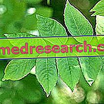 Frêne à Erboristeria: propriétés du Frassino