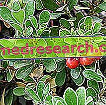 Bearberry in Herbalism: Lastnosti bobice