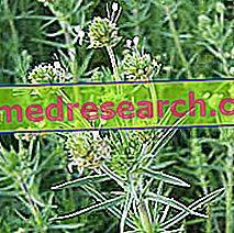 Psyllum trong thảo dược: Tính chất của Psyllium