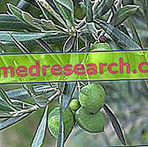 شجرة الزيتون في Erboristeria: حوزة شجرة الزيتون