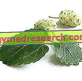 Morus Alba i Herbalist: Egenskapen av den vita mulberryen