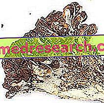Japoniški žolelių grybai: Japonijos grybų savybės