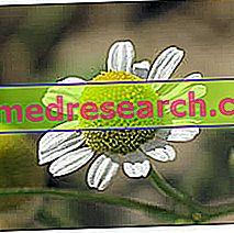 Ramunė žolinių vaistų srityje: ramunėlių savybės