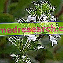 Euphrasia vaistažolių medicinoje: Eufratijos nuosavybė