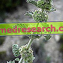 Marrubio i Herbalist: Egenskapen av Marrubio