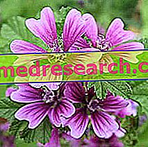 Mallow in Herbalist: Eiendom av Mallow