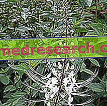 Orthosiphon en Erboristeria: Propiedades del Orthosiphon
