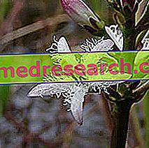 Fibrino kløver i urtemedisin: Egenskapen til Fibrino-kløveren