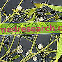 Mistletoe in Herbal Medicine: Lastnosti imele