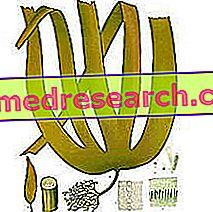 Laminaria a gyógynövényben: Laminaria tulajdonságai