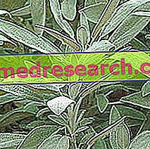 Cây xô thơm trong thảo dược: Thuộc tính của cây xô thơm