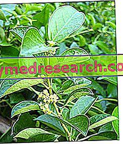 Лікарські рослини та діабет