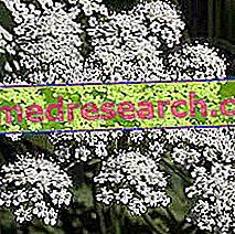 Anīsa Herbalistā: Anīsa īpašības