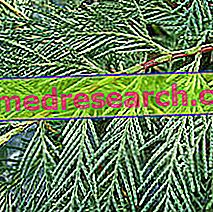 Cypress in Herbalist: Posjedovanje čempresa