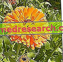 Měsíček v bylinné medicíně: Vlastnosti měsíčku
